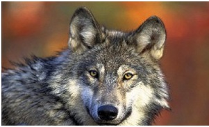 Photo: This picture of a wolf was taken by the U.S. Fish and Wildlife Service.